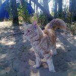 Котенок мейнкун на природе