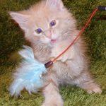 Котенок мейнкун 1,5 месяца