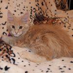 Котенок мейнкун 3 месяца