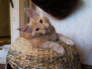 Мейнкун 3 месяца Красный мрамор на серебре